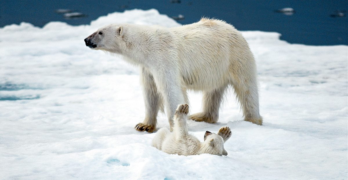 1131_QK_polar-bears