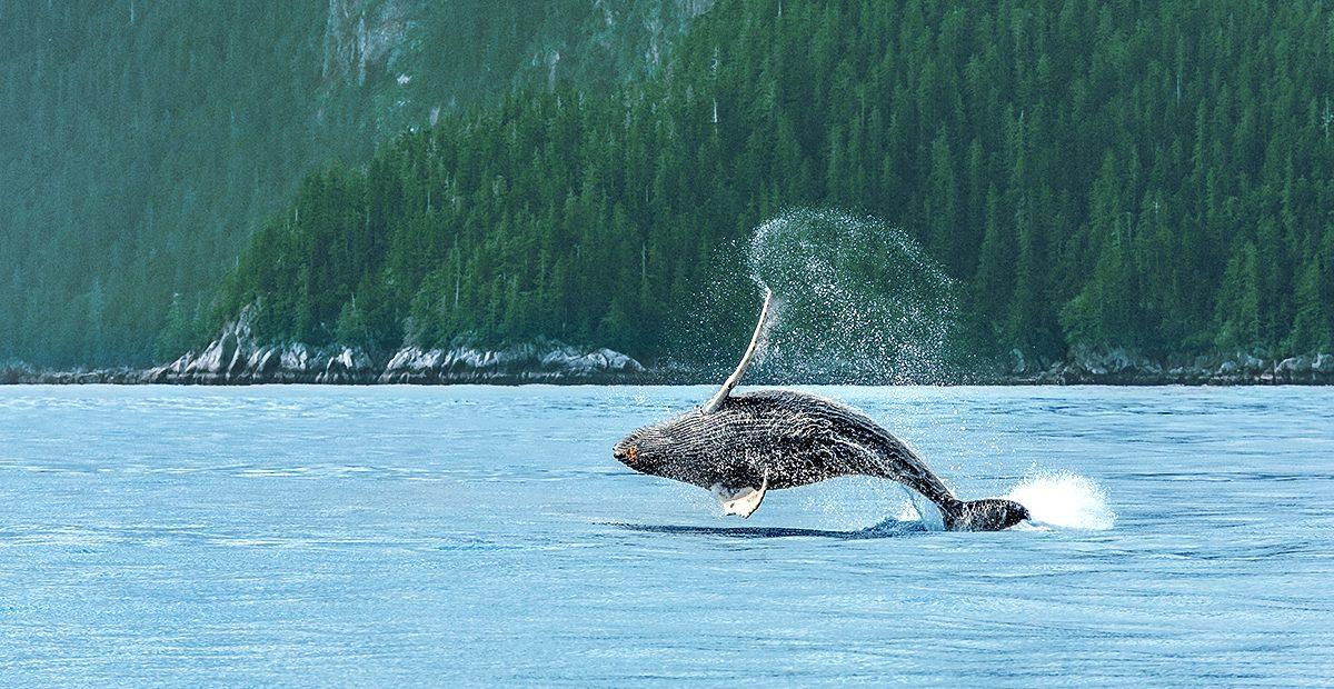 Hampback Whale breaching