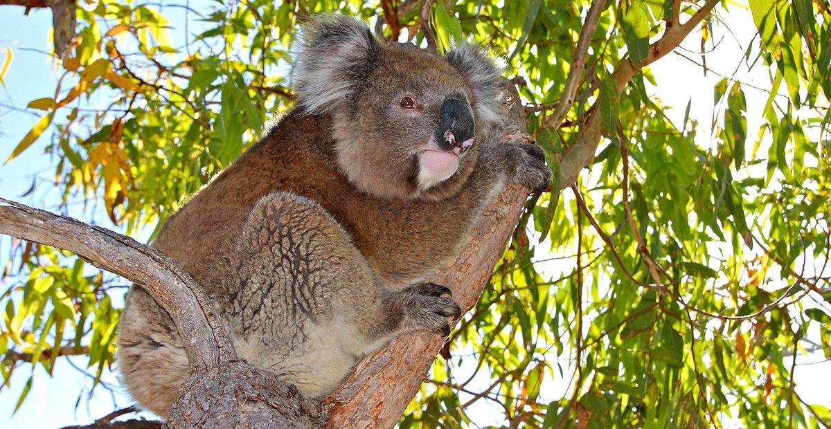 Kuranda_Koala