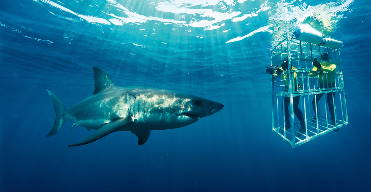 Cage_Diving_Great_White_Sharks