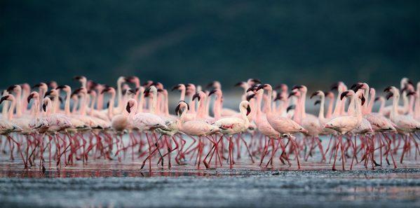 Beautiful Lesser Flamingos at lake Bogoria, kenya